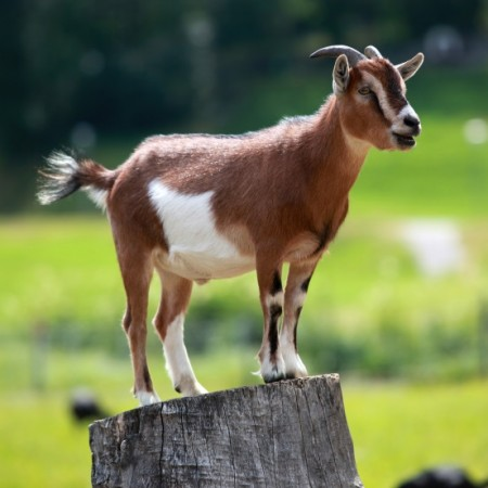 A myotonic goat, otherwise known as the fainting goat, is a domestic goat whose muscles freeze for roughly 10 seconds when the goat feels panic. Though painless, this generally results in the animal collapsing on its side. The characteristic is caused by a hereditary genetic disorder called myotonia congenita. When startled, younger goats will stiffen and fall over.