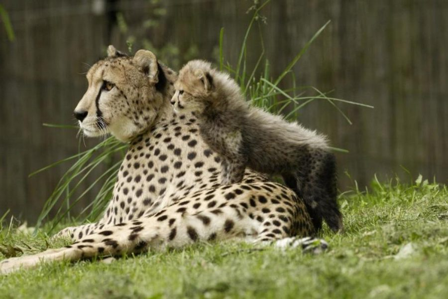 The+Cincinnati+Zoo+is+going+to+be+welcoming+new+cheetah+cubs+thanks+to+their+new+breeding+facility.+Plans+for+this+operation+are+very+important+in+the+animal%E2%80%99s+success.+This+zoo+became+one+of+the+eight+accredited+cheetah+breeding+facilities+due+its+original+farm+operation+in+2002.+Photo+courtesy+of+MCT+Campus.+