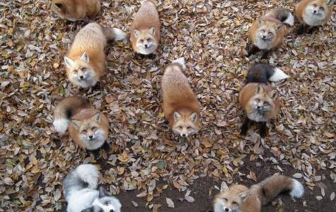 If you like foxes, forests, Japan, and adorableness, then you simply cannot go wrong at Fox Village. There are over 100 animals, including six types of foxes that roam freely in this Miyagi Mountain village. The village is free for tourists to explore.
