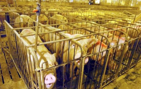 Pigs are held in cages where they cannot even turn around, let alone turn their head. Pigs are smart enough that they can actually be driven insane by this treatment, often screeching and writhing within their cages. They are often fed special meals that can make them bloated are and designed to make them grow larger than normal.