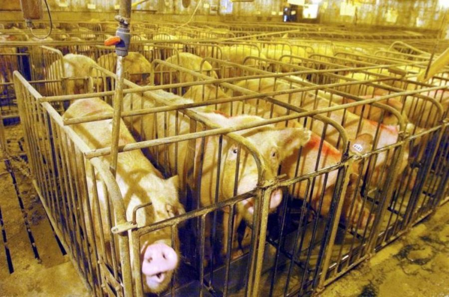 Pigs+are+held+in+cages+where+they+cannot+even+turn+around%2C+let+alone+turn+their+head.+Pigs+are+smart+enough+that+they+can+actually+be+driven+insane+by+this+treatment%2C+often+screeching+and+writhing+within+their+cages.+They+are+often+fed+special+meals+that+can+make+them+bloated+are+and+designed+to+make+them+grow+larger+than+normal.