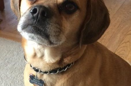 Biscuit's dog breed is a puggle which is a mix of a pug and a beagle. He was 18 months old when he was adopted and is constantly bringing laughs and fun into the Evans' family life.