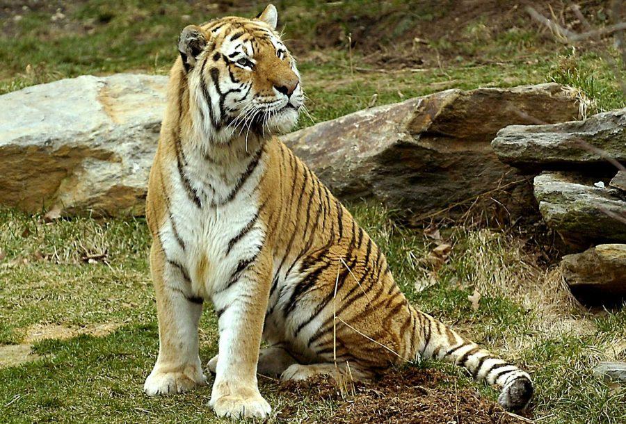 A+12-year-old+Amur+tiger%2C+Dmitri%2C+looks+perplexed+at+his+mate%2C+Kira%2C+when+they+met+through+the+outdoor+mesh+in+the+Bank+of+America+Big+Cat+Falls+habitat+at+the+Philadelphia+Zoo+in+Philadelphia%2C+Pennsylvania.+%28Sharon+Gekoski-Kimmel%2FPhiladephia+Inquirer%2FMCT%29