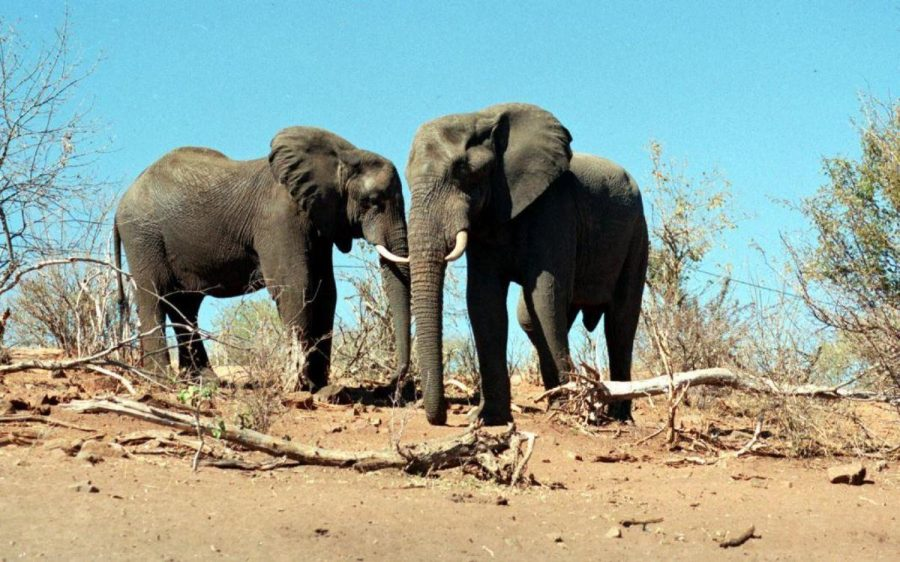 Elephants+have+long+since+remained+a+walking+conundrum+for+scientists.+They+are+large+in+size%2C+so+cancer+should+be+more+prevalent.+However%2C+this+is+not+so%3B+in+fact%2C+elephants+rarely+receive+cancer.