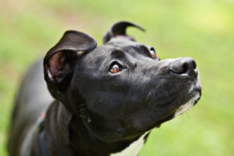 Breed ban boils over