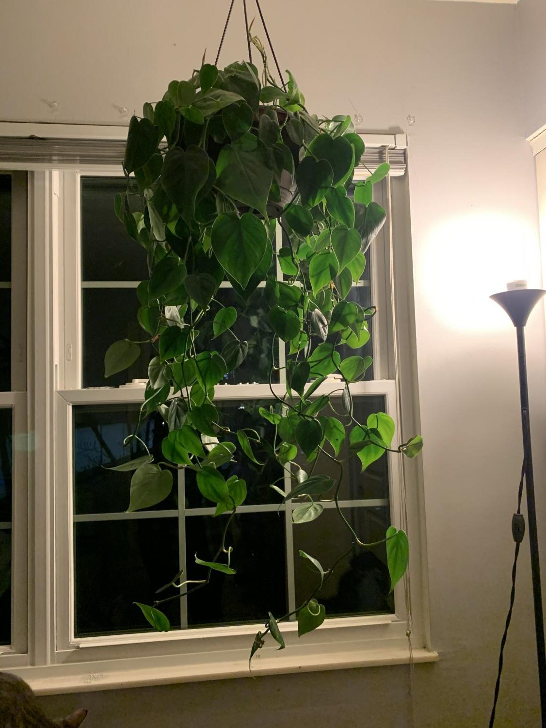 PHILODENDRON. A simple house plant with serious repercussions. Philodendrons are hanging plants, they have a similar growth pattern to ivy, meaning they grow extremely long and have a tendency to travel. On the bright side, the cuttings of this plant can be used to grow new plants.