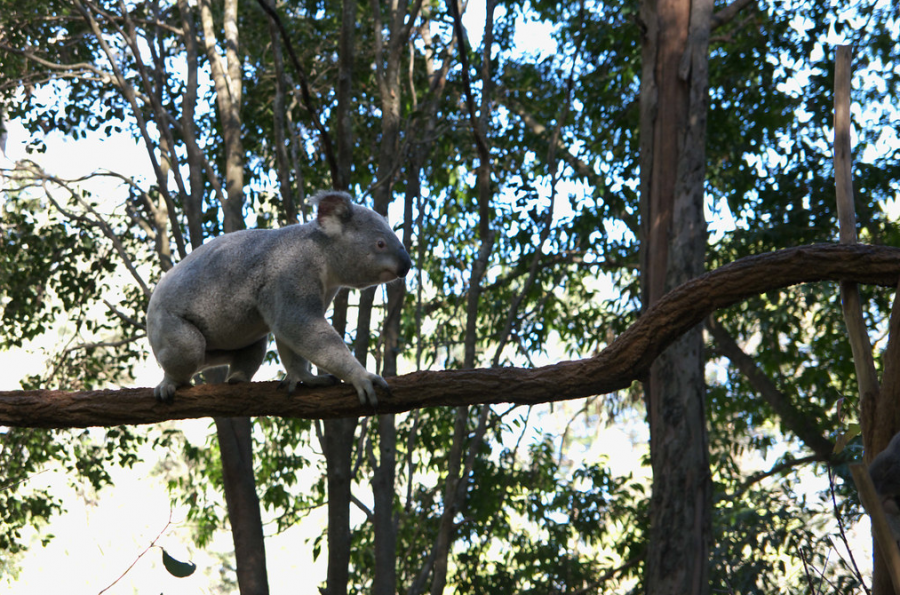 "A rather infamous part of Australia's bizarre fauna, the koala population of Australia is at grave risk during these fires. The creatures are slow-moving and find it hard to escape from oncoming flames. In New South Wales, the home of thousands of koalas, an estimated 8,000 bears have been lost to the blaze. Australia's environmental minister, Sussan Ley explains that ""It may well be up to 30 percent of the population in that region [was killed], because up to 30 percent of their habitat has been destroyed."""