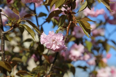 Most people cannot wait for the arrival of spring. After a long, cold winter, the warmer weather and rebirth of plant life can be very liberating. However, those that suffer from spring allergies may not feel the same way. Photo courtesy of Anna Zhou