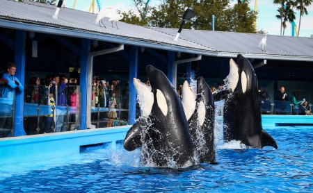 An increasing amount of killer whales are kept in captivity in places such as Sea World. The controversy over this issue was widely covered in Blackfish. Sea World responded to the documentary saying that it included false information. Photo courtesy of MCT Photo
