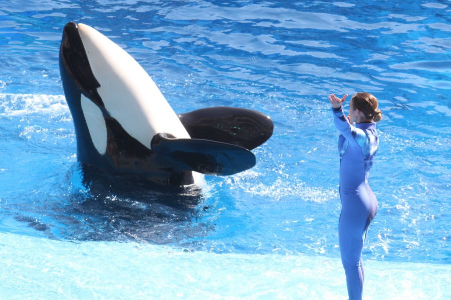 Increasing amounts of killer whales are now kept in captivity. Blackfish explores this controversial topic. After the release of the documentary, SeaWorld responded by saying Blackfish included false information. Photo courtesy of MCT Photo