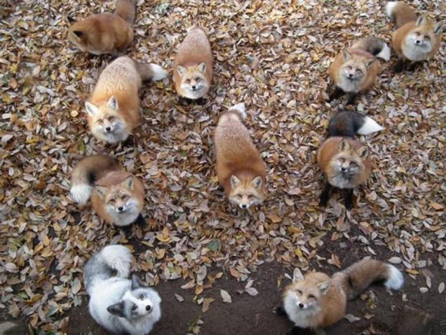 If+you+like+foxes%2C+forests%2C+Japan%2C+and+adorableness%2C+then+you+simply+cannot+go+wrong+at+Fox+Village.+There+are+over+100+animals%2C+including+six+types+of+foxes+that+roam+freely+in+this+Miyagi+Mountain+village.+The+village+is+free+for+tourists+to+explore.+