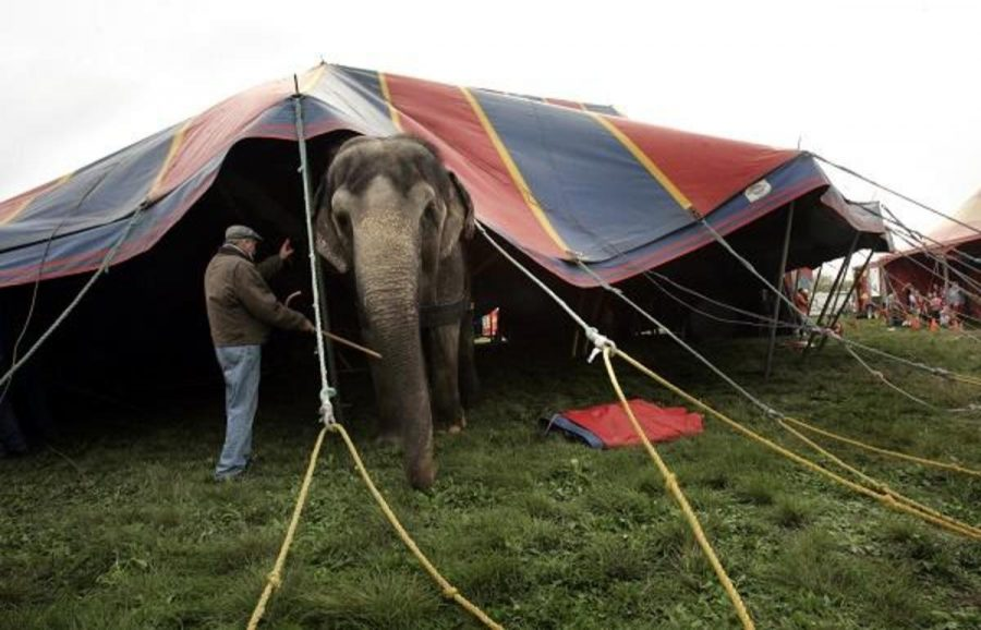 Although+the+Ringling+Brothers%E2%80%99+circus+is+eliminating+the+elephant+act%2C+there+will+still+be+events+featuring+tigers%2C+lions+horses%2C+dogs%2C+and+camels.+This+is+just+one+small+step+to+helping+the+circus+animals.+However%2C+many+argue+that+the+three+years+given+for+the+elephants+are+too+long+for+them+to+suffer+even+more.
