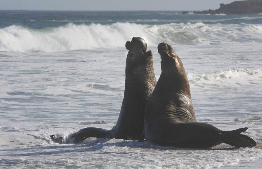 Elephant seals fight in the water off the beach at Cuyler Harbor on San Miguel Island off Southern California, on Saturday February 13, 2010. (Brian Vander Brug/Los Angeles Times/MCT)