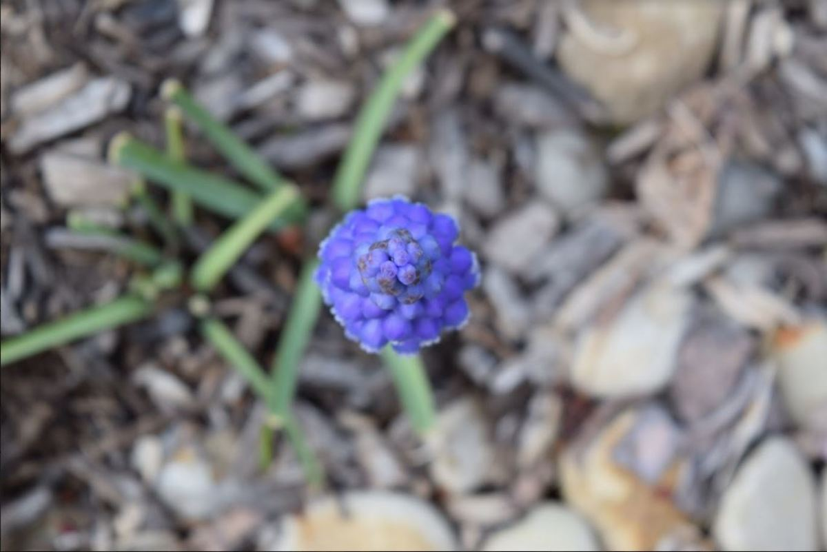 """With mid-spring temperatures coming about extremely early this year, many annual plants have been getting confused. Many students noted that instead of seeing sparkly snow cover lawns this January they have been seeing budding flowers and fresh grass. """"This is not quite the 'white winter' we had been warned about,"""" said Stacy Lawrence, 9."""