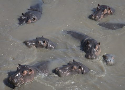 Baby hippo receives name
