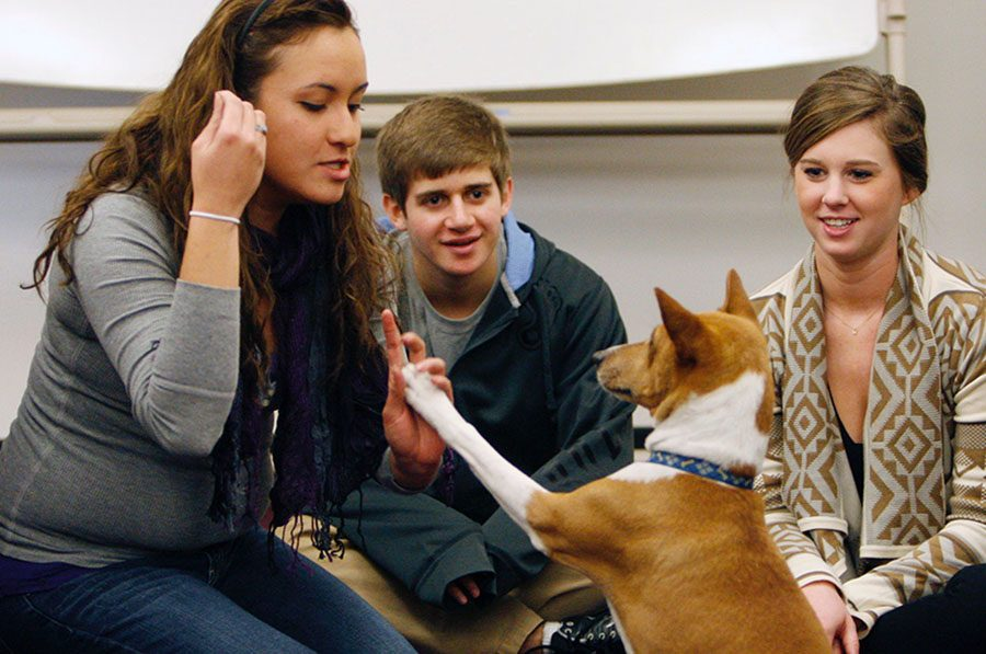 University of North Carolina freshmen Laura Gamo, left-right, along with Lucas John and sophomore Haley Ross play with Mickey, an 11-year-old basenji, at Park Library in Carroll Hall at UNC, Chapel Hill Wednesday, December 12, 2012. Mickey was one of this fall's therapy dogs used during exam week to help students and staff deal with the stressful period. (Harry Lynch/Raleigh News & Observer/MCT)