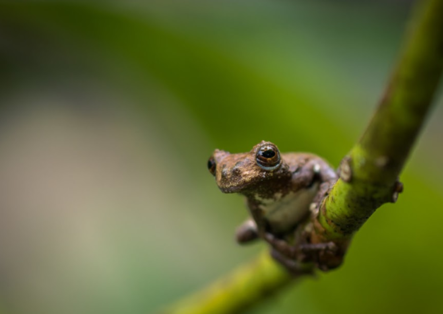 """BURN. With the Amazon rainforest on fire, it will not only negatively impact humans, but it will be detrimental to the animals that live in the rainforest. Dendropsophus marmoratus, also known as the marbled tree frog, is one of the many creatures that will be affected by this fire. """"The fire could also change water chemistry to the point that it isn't sustainable for life in the short term,"""" said Mazeika Sullivan, associate professor at the Ohio State University's School of Environment and Natural Resources."""