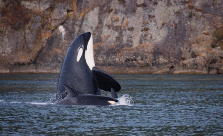 CAPTIVITY.+Though+Orca+whales+are+the+main+attraction+of+parks+like+Sea+World%2C+bringing+awestruck+children+and+families+from+all+across+the+country%2C+these+animals+should+not+be+kept+in+captivity.+The+physical+and+mental+affects+of+confinement+are+extremely+harmful+to+the+orcas%2C+and+are+causing+many+to+die+out+fast.+%E2%80%9CI+think+that+unless+the+aquarium+or+park+is+purely+based+on+rehabilitation%2C+it+should+not+have+any+captive+animals%2C%E2%80%9D+said+Kasey+Lowe%2C+10.